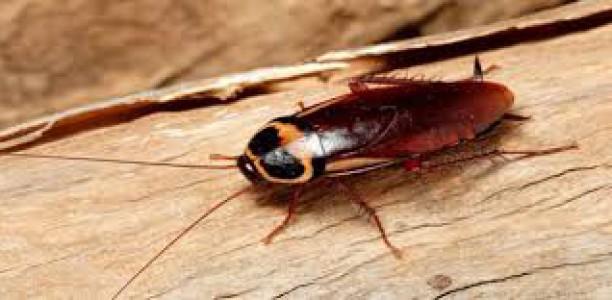 Tout sur le Cafard. Biologie et Gestion. Dr. D. D. Faye, entomologiste