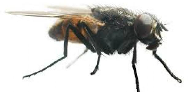 La Mouche Domestique. Pas Domestique!  Dr. D. D. Faye, Entomologiste